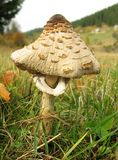 macrolepiota蘑菇遮阳伞 免版税库存图片