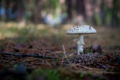 Macrolepiota est un genre de blanc spored, champignons à ailettes de l'Agaricaceae de famille Photos libres de droits