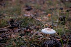 Macrolepiota est un genre de blanc spored, champignons à ailettes de l'Agaricaceae de famille Photographie stock
