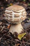 Macrolepiota het groeien op de bosvloer Stock Foto's