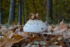 Macrolepiota mushroom and oak acorn caps Royalty Free Stock Image
