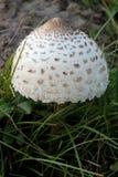 Macrolepiota (Parasol Mushroom) Royalty Free Stock Images