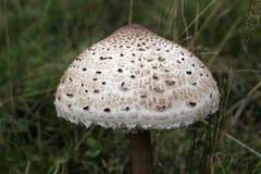 macrolepiota pieczarkowy parasol procera Obraz Stock
