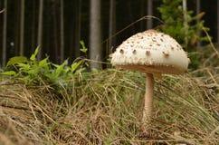Macrolepiota Procera -伞菌 免版税库存照片