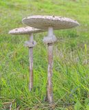 Macrolepiota procera. Royalty Free Stock Photos