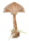 Macrolepiota procera Royalty Free Stock Photo