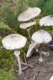 Macrolepiota procera Stock Photo