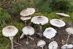 Macrolepiota procera stock images
