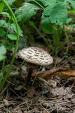 Macrolepiota procera or Lepiota procera in the forest. Parasol mushroom known as Macrolepiota procera or Lepiota procera is a basidiomycete fungus with a large Royalty Free Stock Photography