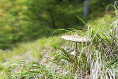 Macrolepiota procera mushroom growing in the forest grass royalty free stock photography