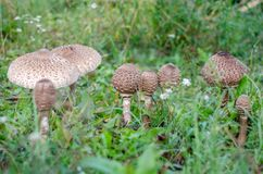 Macrolepiota procera. Mushrooms parasol. Macrolepiota procera. Mushrooms umbrellas  growing in the grass. Ukraine Stock Photography