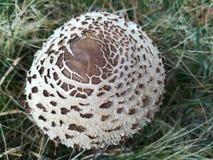 Macrolepiota Procera mushroom Stock Images