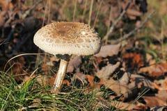 Macrolepiota procera or Parasol mushroom Stock Image