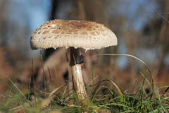 Macrolepiota procera or Parasol mushroom Royalty Free Stock Photos