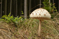 Macrolepiota Procera - Parasol Mushroom Royalty Free Stock Photos