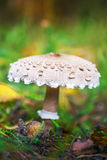 Macrolepiota Stock Photo