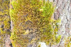 A macrolichen is a lichen that is either bush-like or leafy; all other lichens are termed microlichens. Here, `macro` and `micro` do not refer to size, but to Royalty Free Stock Photos