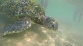 Macromening van Grote olijfschildpad in het water op de kust van het Schildpadstrand in Hikkaduwa, Sri Lanka in de Indische Oceaa stock video