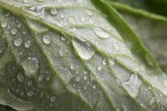 Macromening van waterdalingen op een groen blad, het versheidsleven concep Stock Foto