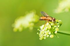 Macromenings bruine vlieg op groen gele bloem Selectieve nadruk, ondiepe diepte van gebiedsfoto Royalty-vrije Stock Foto