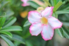 Macroobesum of de woestijn van Adenium nam toe De kleurrijke bloemen zijn mooie bomen die zeer weerstaan gemakkelijk droogtevoorw stock foto