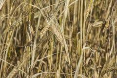 Macrooor vooraan De oren van gouden rogge sluiten omhoog Het mooie Landschap van de Aardzonsondergang Landelijk landschap onder h Royalty-vrije Stock Afbeelding