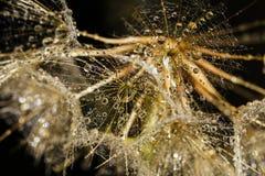 Macropaardebloemzaden met Waterdrops Royalty-vrije Stock Afbeelding