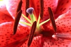 Macrophotage van lilly stock foto