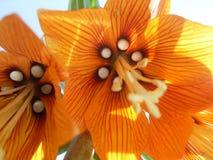 Macrophoto d'une fleur des imperialis de Fritillaria Photos libres de droits