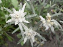 Macrophoto de l'edelweiss Photos stock