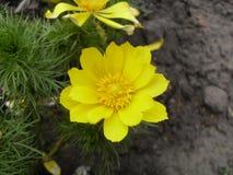 Macrophoto de una flor de los vernalis de Adonis Imágenes de archivo libres de regalías