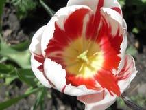Macrophoto der rot-weißen Tulpe Stockbilder