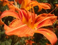 Macrophoto des orange Daylily Lizenzfreies Stockbild
