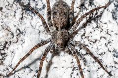 Macrophoto di un ragno fotografie stock libere da diritti