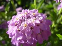Macrophoto do wildflowers cor-de-rosa fotografia de stock royalty free