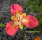 Macrophoto du Tigridia rouge photos libres de droits