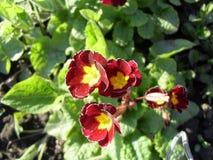 Macrophoto einer Blume der roten Primel Stockfotos