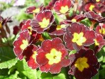 Macrophoto einer Blume der roten Primeln Lizenzfreies Stockfoto