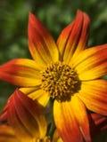 Macrophoto van mooie en kleurrijke bloem bij Botanische tuin Oslo Stock Afbeelding