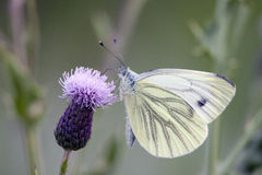 Macrophoto of  a White butterfly Royalty Free Stock Image