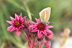 Macrophotography ενός άγριου λουλουδιού - arachnoideum Sempervivum Στοκ Εικόνες