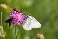 Macrophotography μιας πεταλούδας - crataegi Aporia Στοκ Φωτογραφία