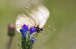Macrophotography μιας πεταλούδας - crataegi Aporia Στοκ Εικόνα