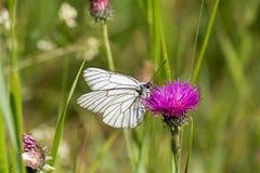 Macrophotography μιας πεταλούδας - crataegi Aporia Στοκ Εικόνες