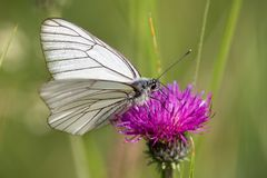 Macrophotography of a butterfly - Aporia crataegi Stock Images