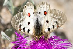 Macrophotography of a butterfly - Parnassius apollo Royalty Free Stock Photography