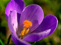 Macrophotography del azafrán violeta anaranjada del pistilo en primavera temprana