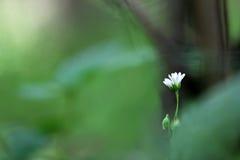 Macrophotography der einzelnen grün-weißen Blume auf dem grünen und braunen unscharfen Hintergrund Lizenzfreies Stockfoto