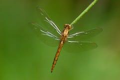 Macrophotography dragonfly Стоковые Изображения