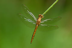 A macrophotography of dragonfly Stock Images